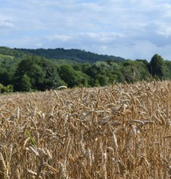 Summer wheat, Lullingstone