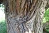 Lullingstone tree
