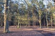 Pine woods, eastern Knole