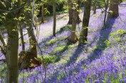 Tulips, Emmetts garden
