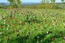 Tulips, Emmetts Garden, Ide Hill walk