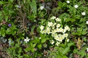 Primroses at One Tree Hill, Sevenoaks