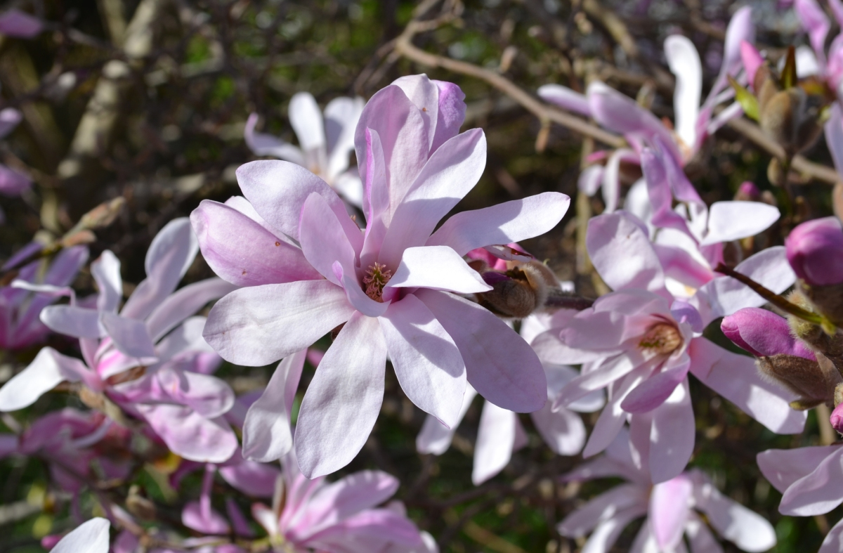 A less common species of magnolia at Emmetts Garden, on Walk 4 (Ide Hill)