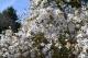 Magnolia, Scord Wood