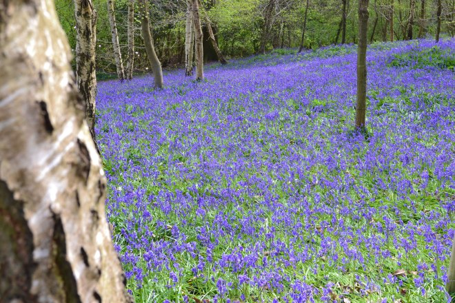 Bluebells on the Ide Hill walk, April 25, 2015