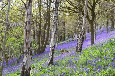 Bluebells on the Ide Hill walk, near Emmetts Gardens, Kent