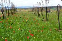 Tulips and view, Emmetts, near Ide Hill, 2015