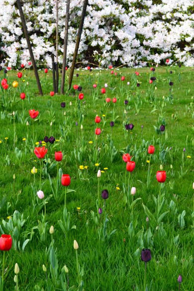Tulips at Emmetts
