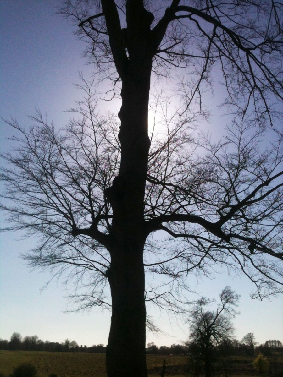 Beech tree awaiting its leaves, early spring