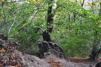 The amazing tree growing out of the escarpment at One Tree Hill