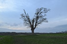 The lonely tree up from the Lullingstone Roman villa. Walk 3