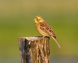 Yellowhammer: often seen in hedgerows and field edges on these walks