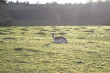 Deer on bumpy ground at Knole
