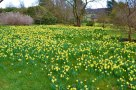 Daffodils at Emmetts