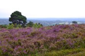 Heather at Gills Lap, Ashdown Forest