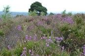 Heather, Ashdown Forest