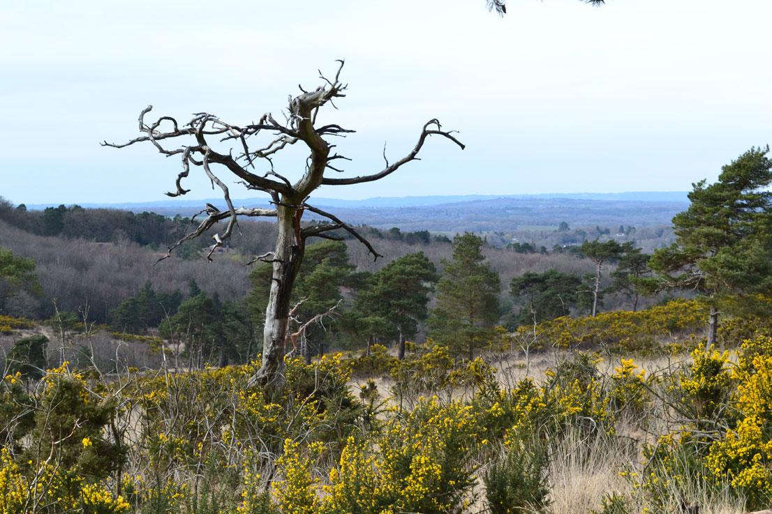 Dead pine, Eeyore's Gloomy Place, Ashdown Forest
