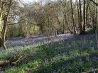 Bluebells at Downe
