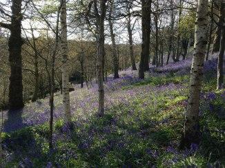 Emmetts Gardens bluebells