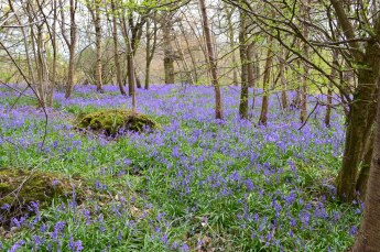 Ide Hill bluebells