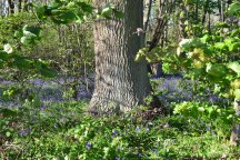 Bluebell wood after leaving Penshurst road
