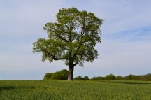 Solitary oak near Chiddingstone