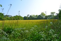 Cow parsley/buttercups