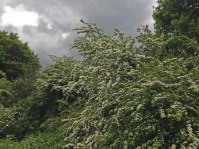 Hawthorn on Downe walk