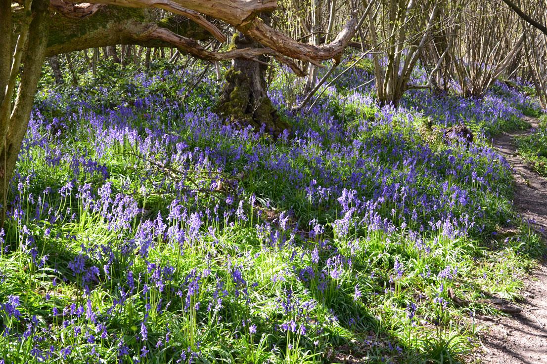 Bluebells at top of Wilmot Hill near Ightam