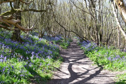 Path through bluebells at Wilmot's Hill