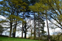 Pines by meadow near Hever