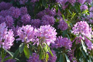 Rhododendron near Wilderness Farm