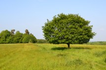 Small oak in field near Stock wood