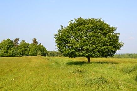 Small oak in field near Stock wood