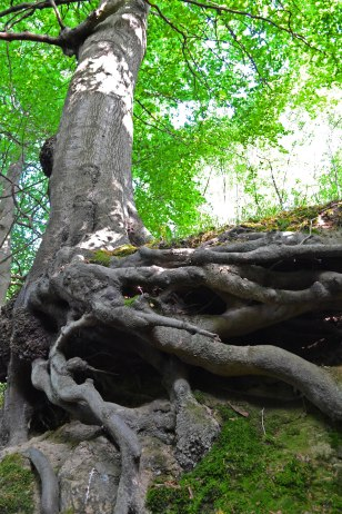 Tree growing out of sandstone outcrop, Hill Hoath