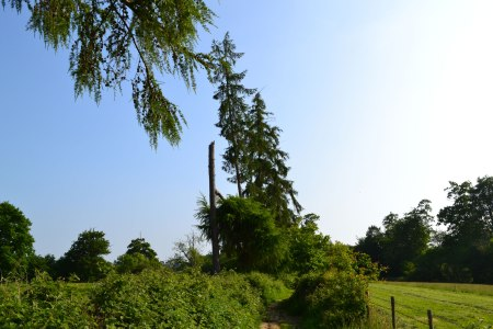 Young pines nr Hill Hoath on Hever walk