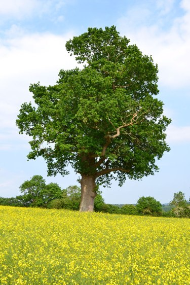 Solitary oak in field by Chiddingstone