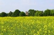 Church at Chiddingstone peeps through trees behind field of rape plants