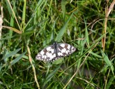Marbled white butterfly, Downe