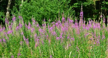 Rosebay willowherb, One Tree Hill