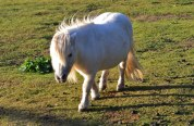 Shetland pony, Downe