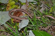 Slow worm, flicking out tongue