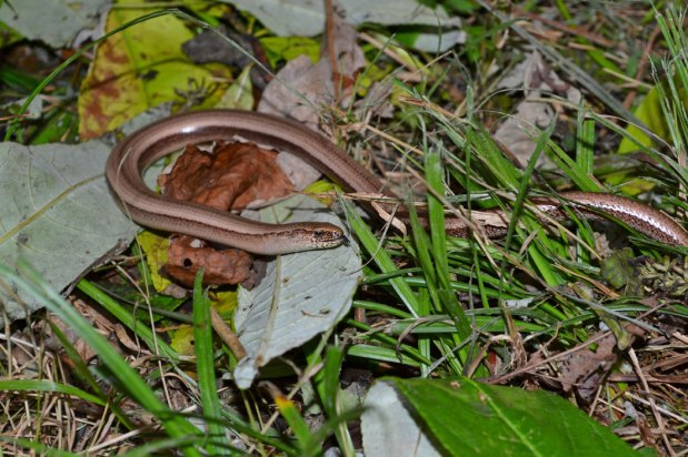 Slow worm and autumn colours