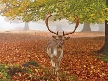 Stag at Knole
