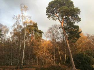 petts-wood-pines-2