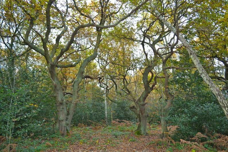 Edlmann wood