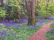 Bluebells in the woods at Beckenham Place Park