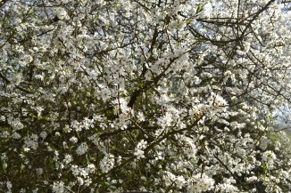 Blackthorn blossom, One Tree Hill, Sevenoaks
