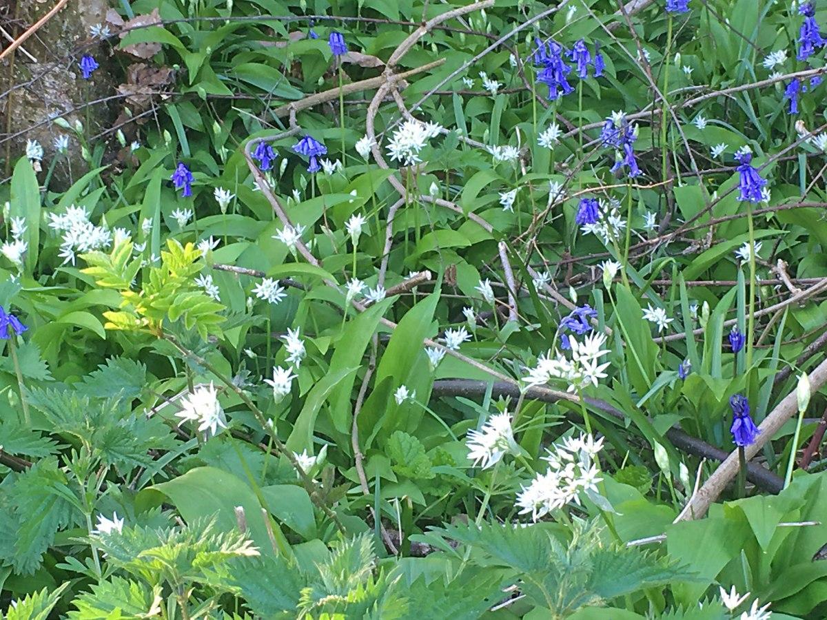 Bluebells and wild garlic near Ightam Mote