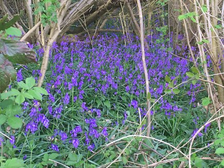 Bluebells near Ightam Mote